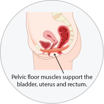 Diagram of pelvic floor muscles supporting the bladder, uterus, and rectum